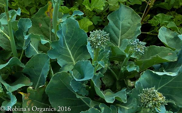 Mini Broccoli.jpg