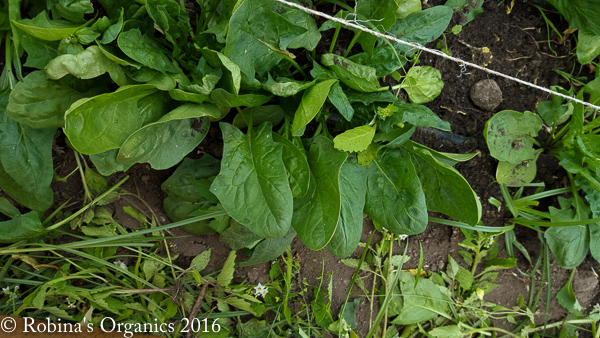 Spinach Early May.jpg