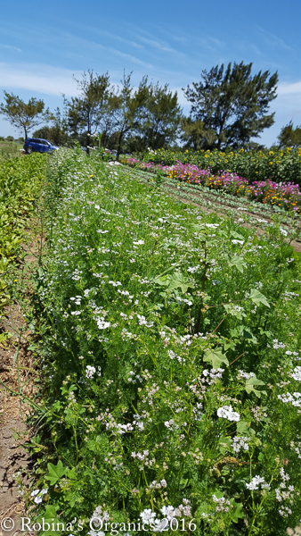 Cilantroflowers.jpg