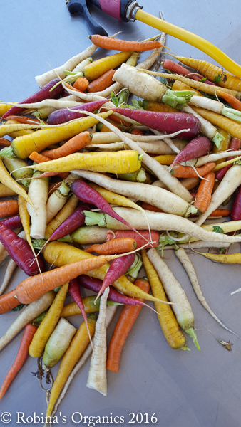 First Harvest Rainbow Carrots.jpg