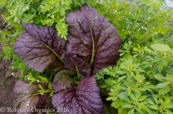 Red Giant Mustard May 13.jpg