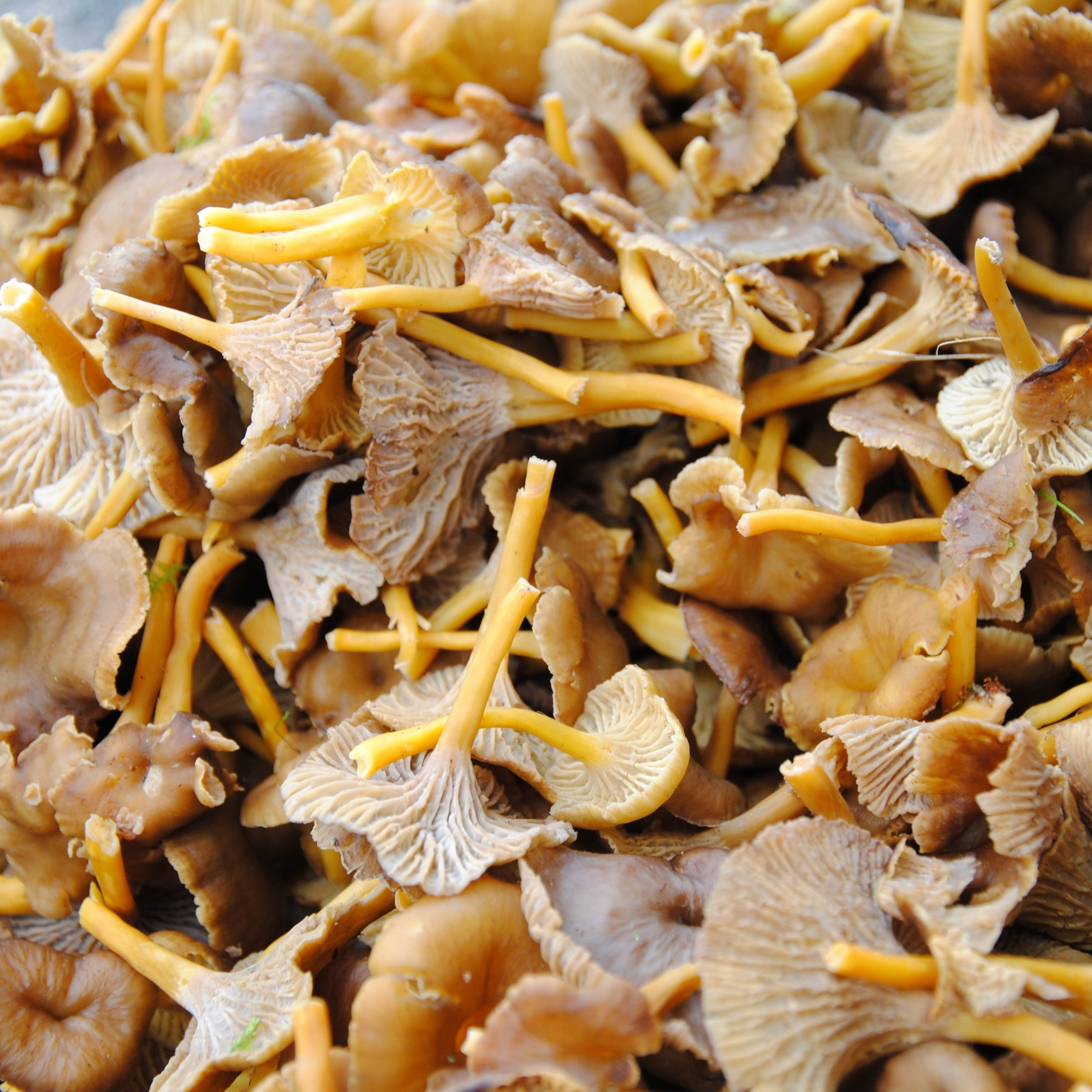 Craterellus tubaeformis or Funnel Chantarelle.