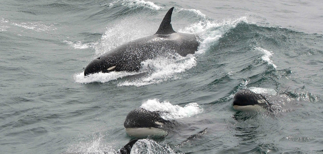 Type D killer whales showing their blunt heads and tiny eyepatches in 2011. Photo: J.P. Sylvestre via NOAA