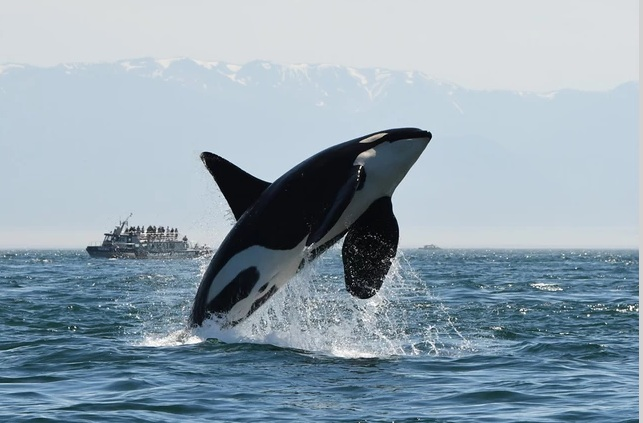 Scoter (K25) in happier days. RIP. Photo courtesy of Dave Ellifrit/Center for Whale Research