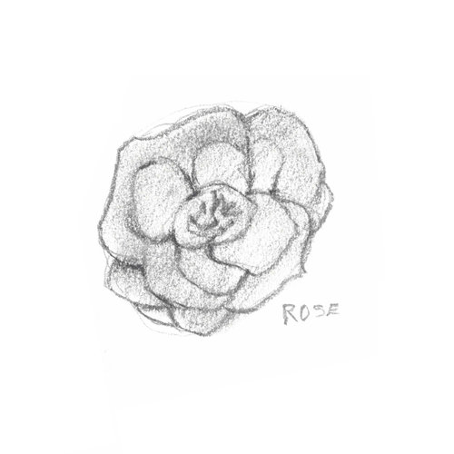 Rose is: cell repairing, soothing, toning, and rejuvenating to the skin thanks to its anti-inflammatory, antibacterial and hydrating properties. Illustration by Howard Mitchell