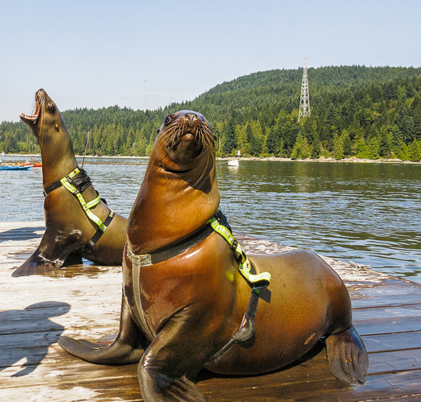 Two of the four stellar sea lions that live at the UBC Marine Mammal Research Station in Port Moody. Photo courtesy: UBC Marine Mammal Research Station.
