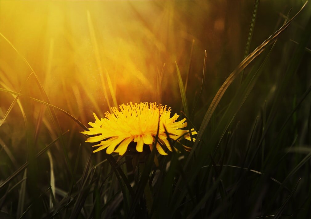 Dandelion is a powerful tool in treating acne and other skin problems such as eczema and psoriasis.