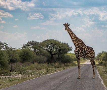 erindi giraffe.jpg