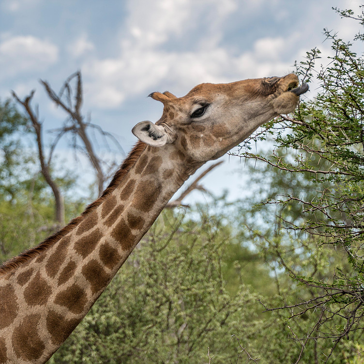 Etosha Giraffe2.jpg