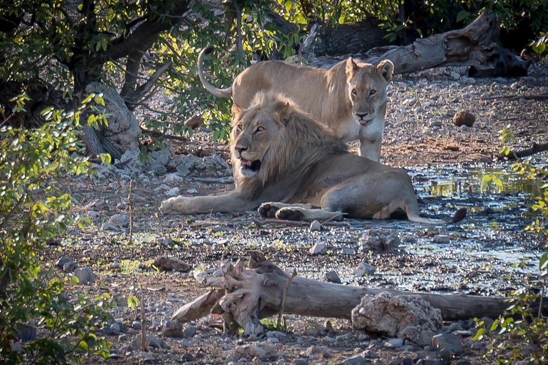 Etosha Lion3.jpg