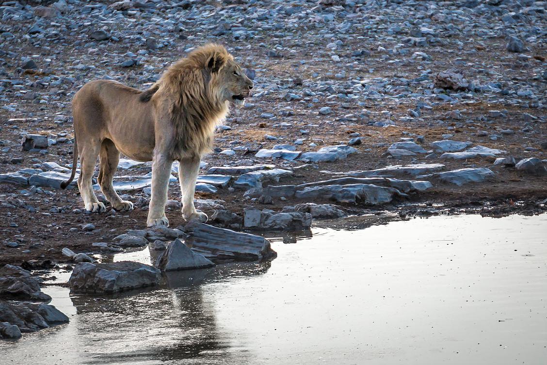 Etosha Lion.jpg