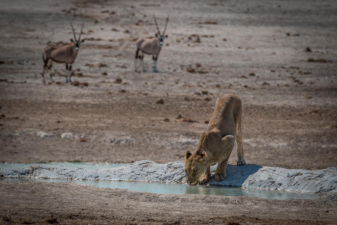 Etosha Lioness.jpg