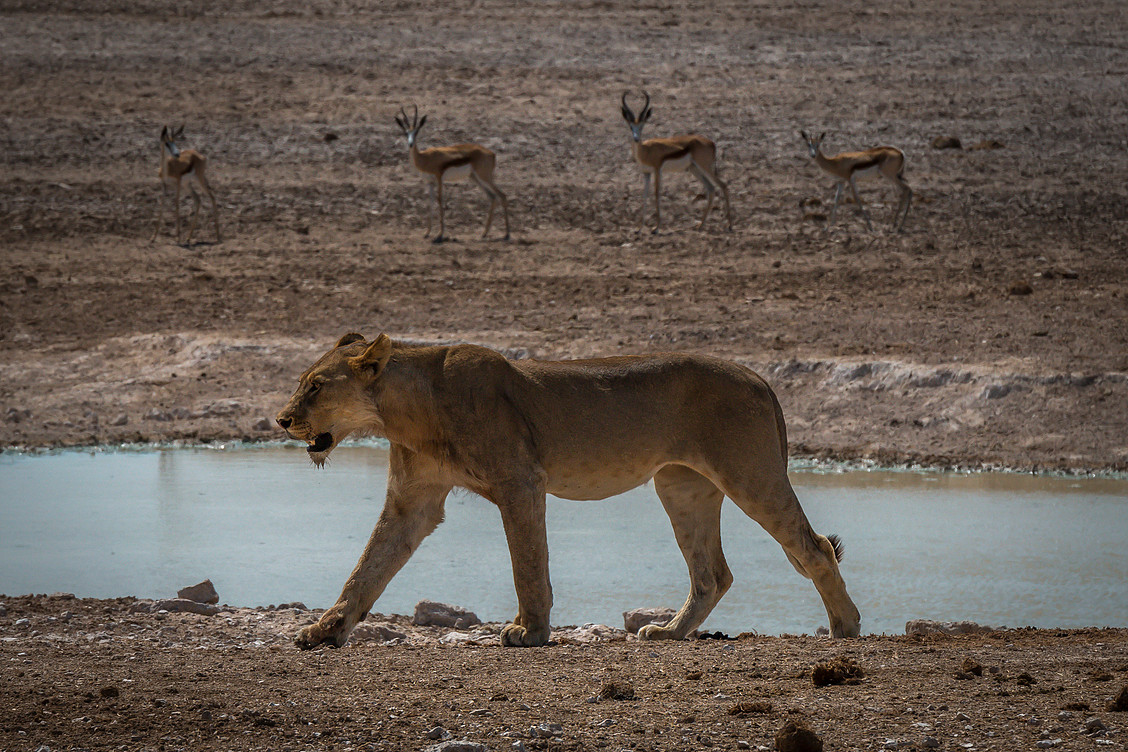 Etosha Lioness2.jpg