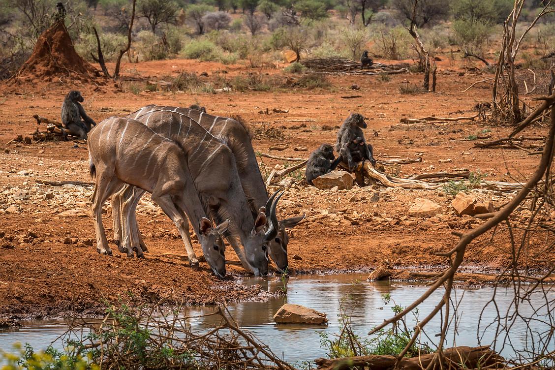 Erindi Kudu.jpg