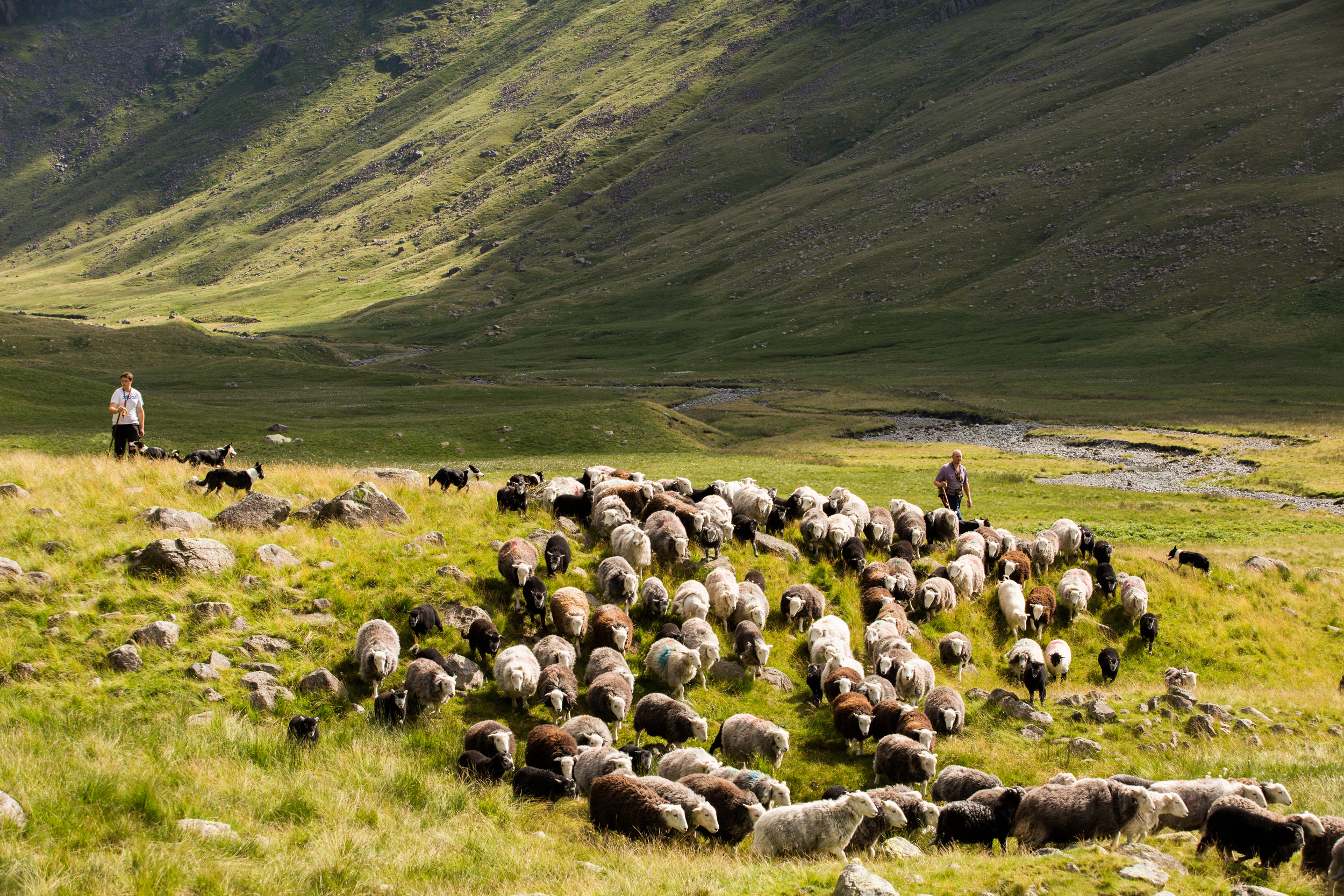 Here you can see the Herdwick sheep from the Lake District fells being gathered in time for sheering.