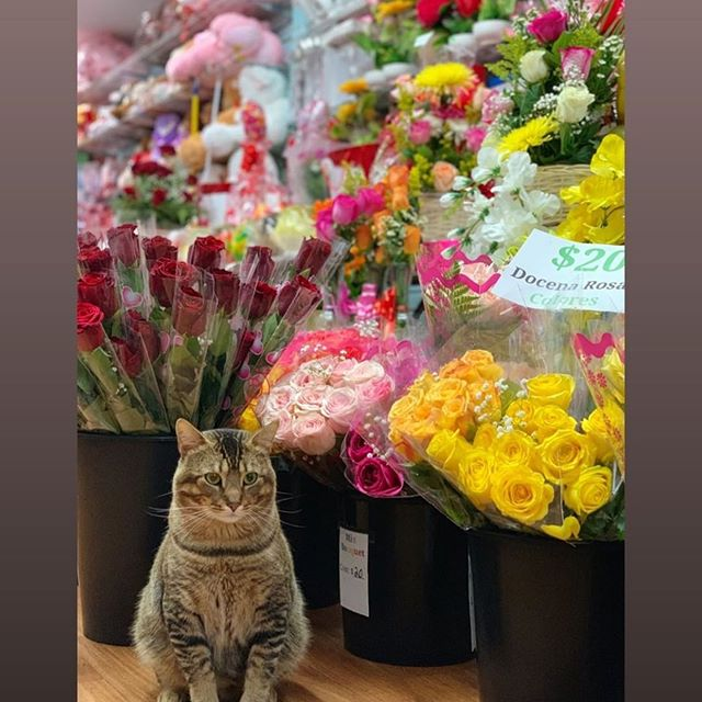 Our store cat Foxy is ready to meet all of you! 😻🌸 ——- Nuestro gato Foxy esta listo para conoserlos a todos? 😻🌸