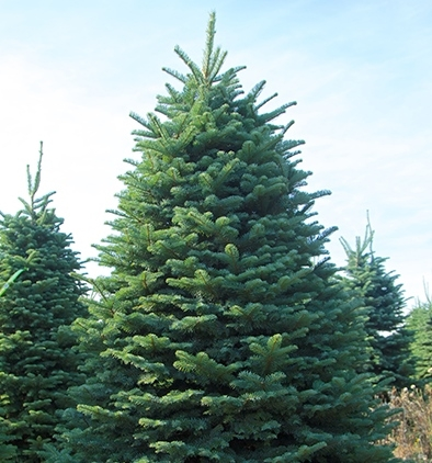 Noble Fir - Silver Blue/Green Long-lasting 1-inch needlesLayered, Upswept, Stiff BranchesStiff branches are well-suited for heavier ornamentsPleasing aromaExcellent for Ornament DisplayOften used to create swags, garlands and wreaths