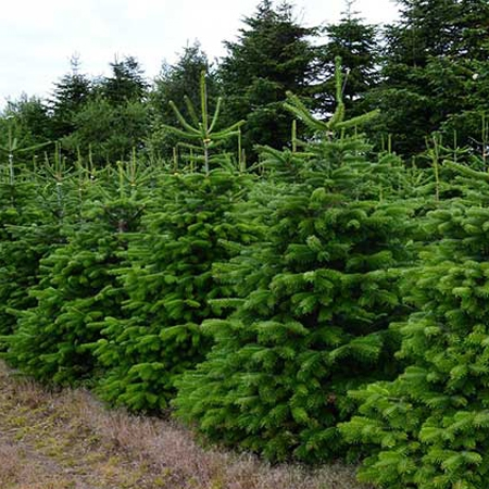Nordmann Fir - A shinny deep green lookBeautiful shape, symmetry and densityStrong branches are great for large ornamentsExcellent needle retentionLow fragrance level