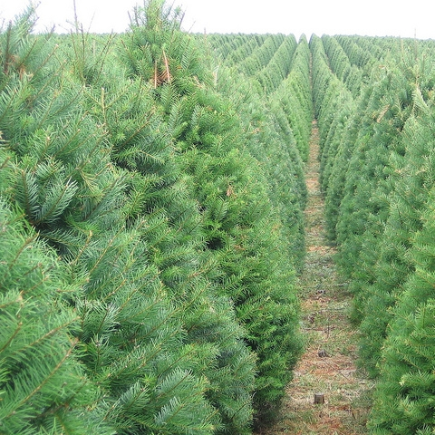 Grand Fir - Green/Silver and Blue Needles and have a glossy appearanceUnique fruity1 – 1 ½-inch needlesStrong fragrance