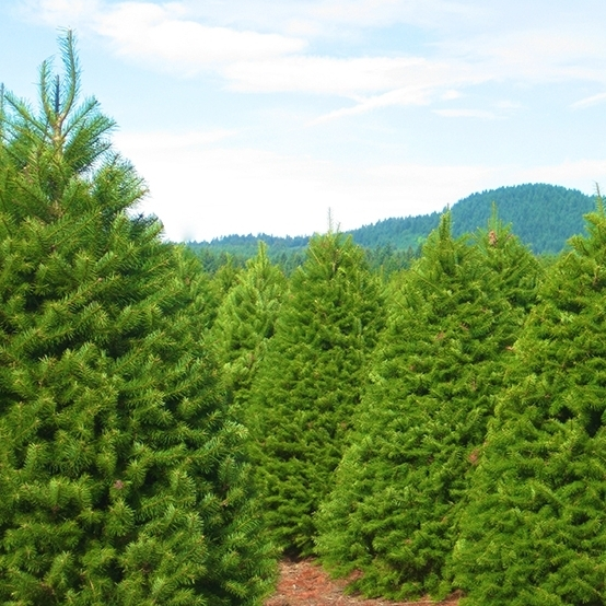 Douglas Fir - Blue/Green NeedlesLush Tree with Soft Long-lasting needleVery FragrantOregon's State TreeFresh up to Four Weeks1 – 1 ½-inch needlesSweet, subtle scent
