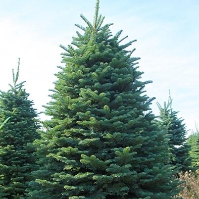 Noble Fir Double D's Tree Service, Ogden, Utah.jpg