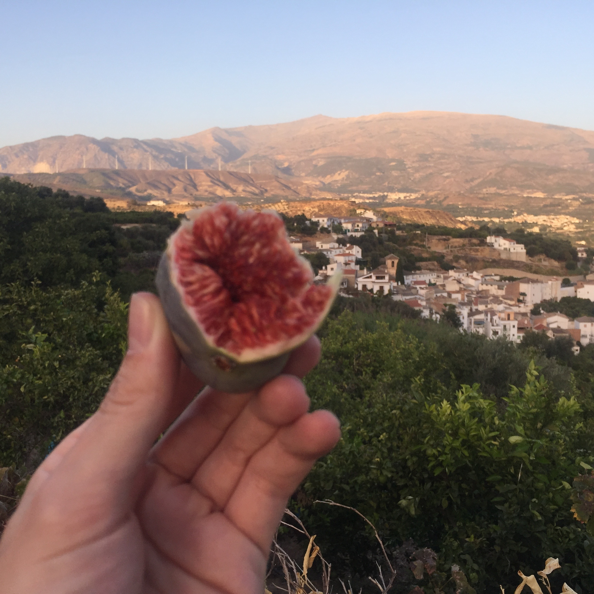 Munching on figs en route. our village and Sierra Nevada in the distance.