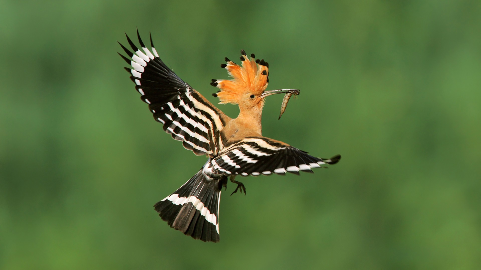 Hoopoe (not our photo)