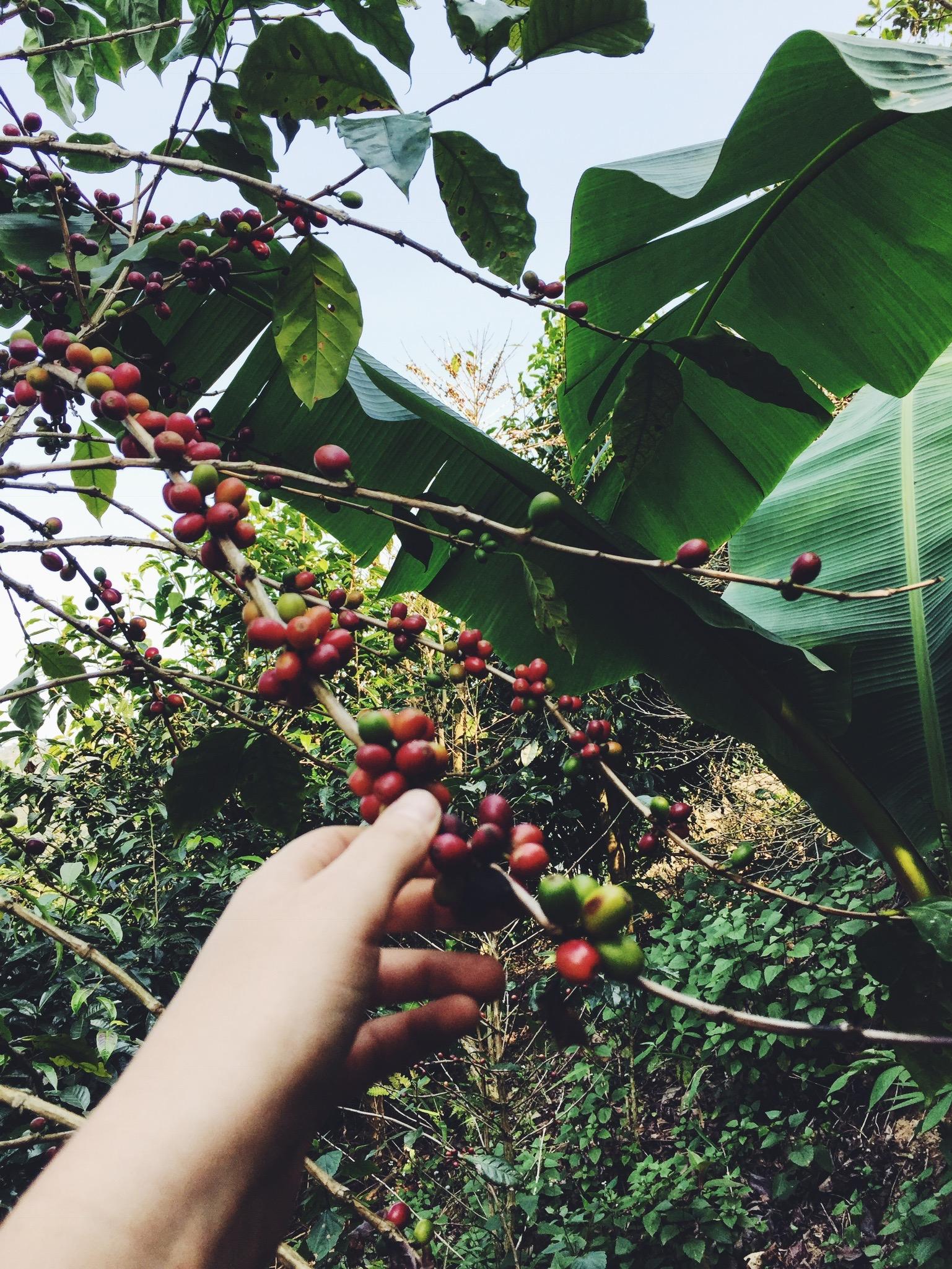 Picking coffee cherries on Lee's farm.