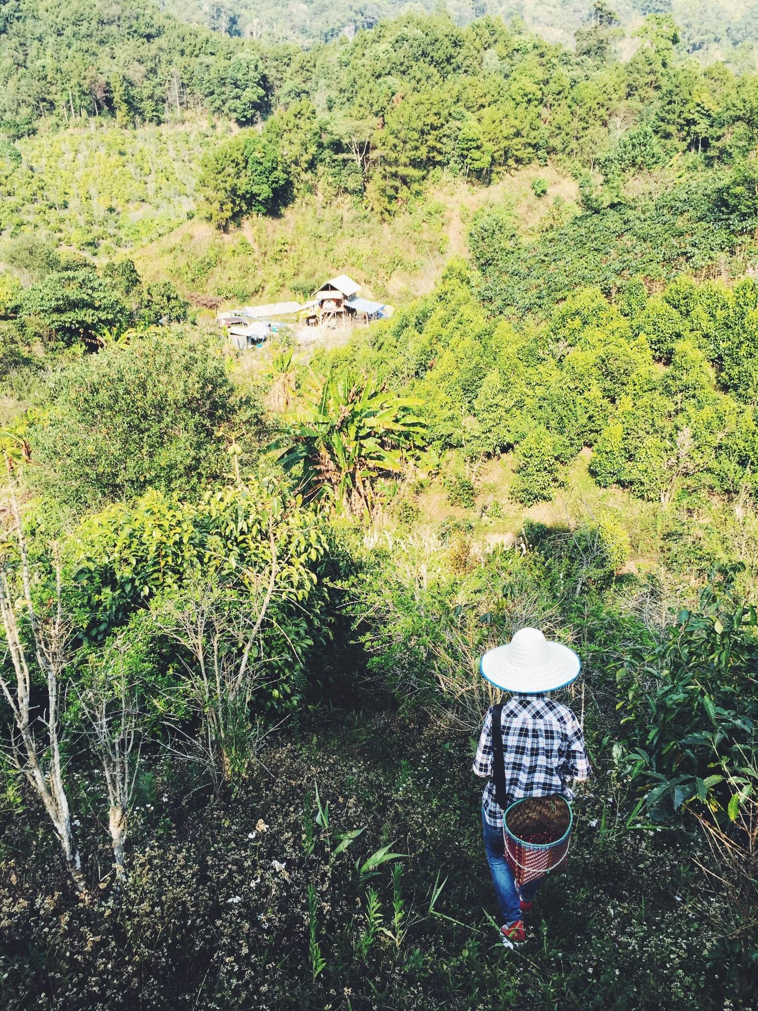 Picking coffee cherries at Maejantai.
