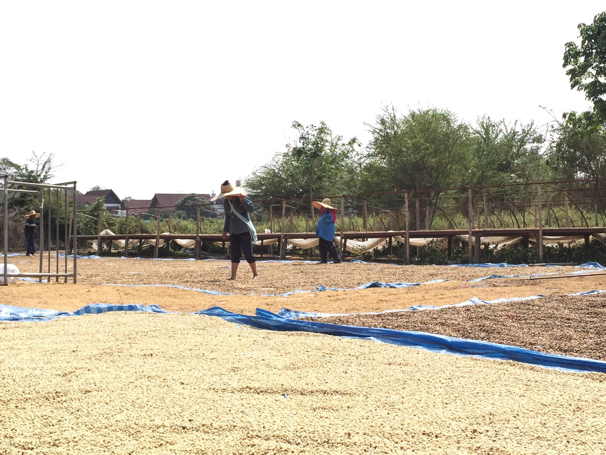 At one of Lanna Coffee's drying stations.