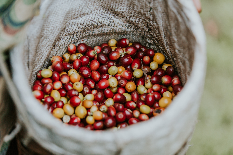 Freshly picked coffee cherries