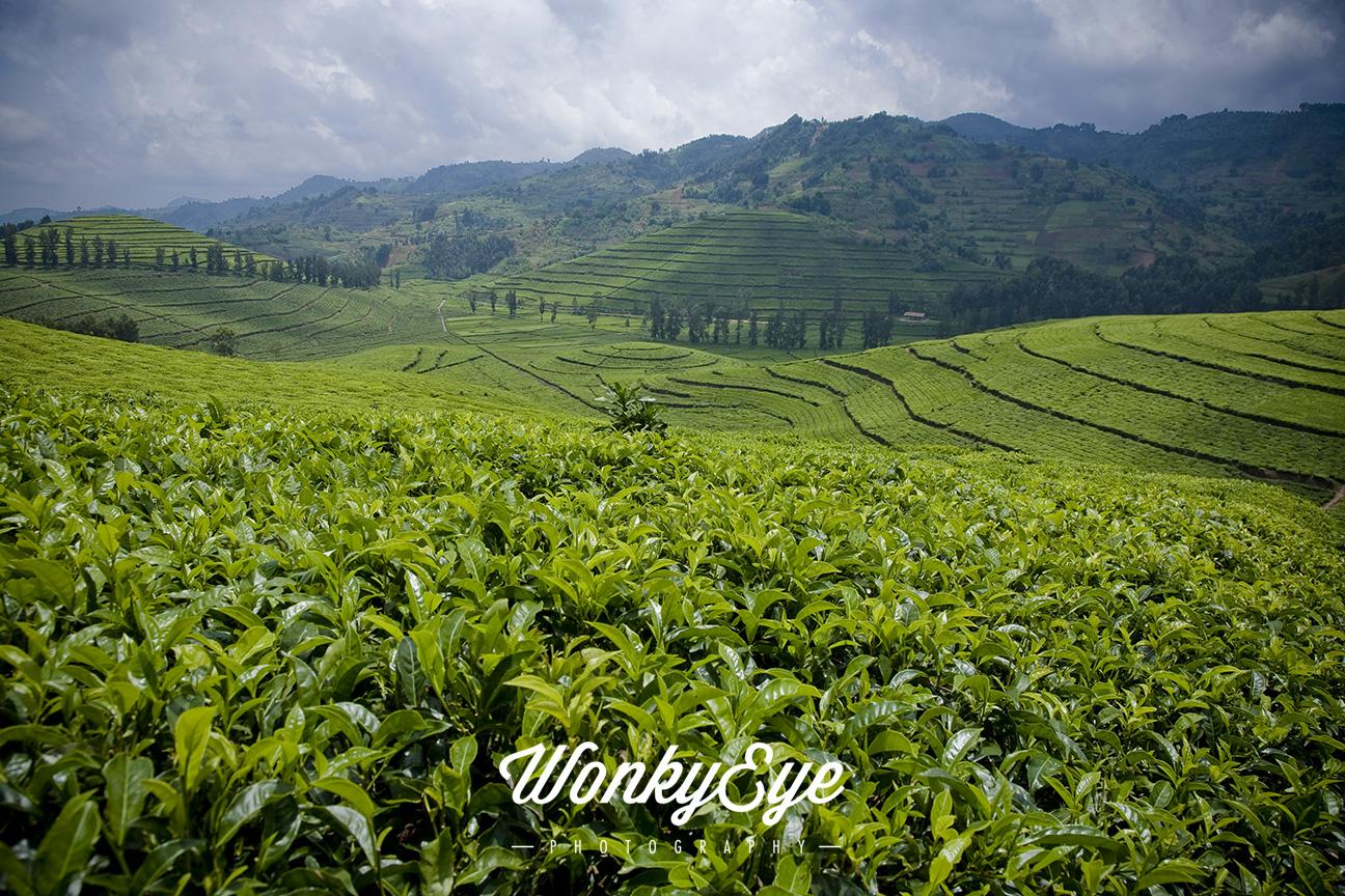 tea_fields_rwanda_C.jpg