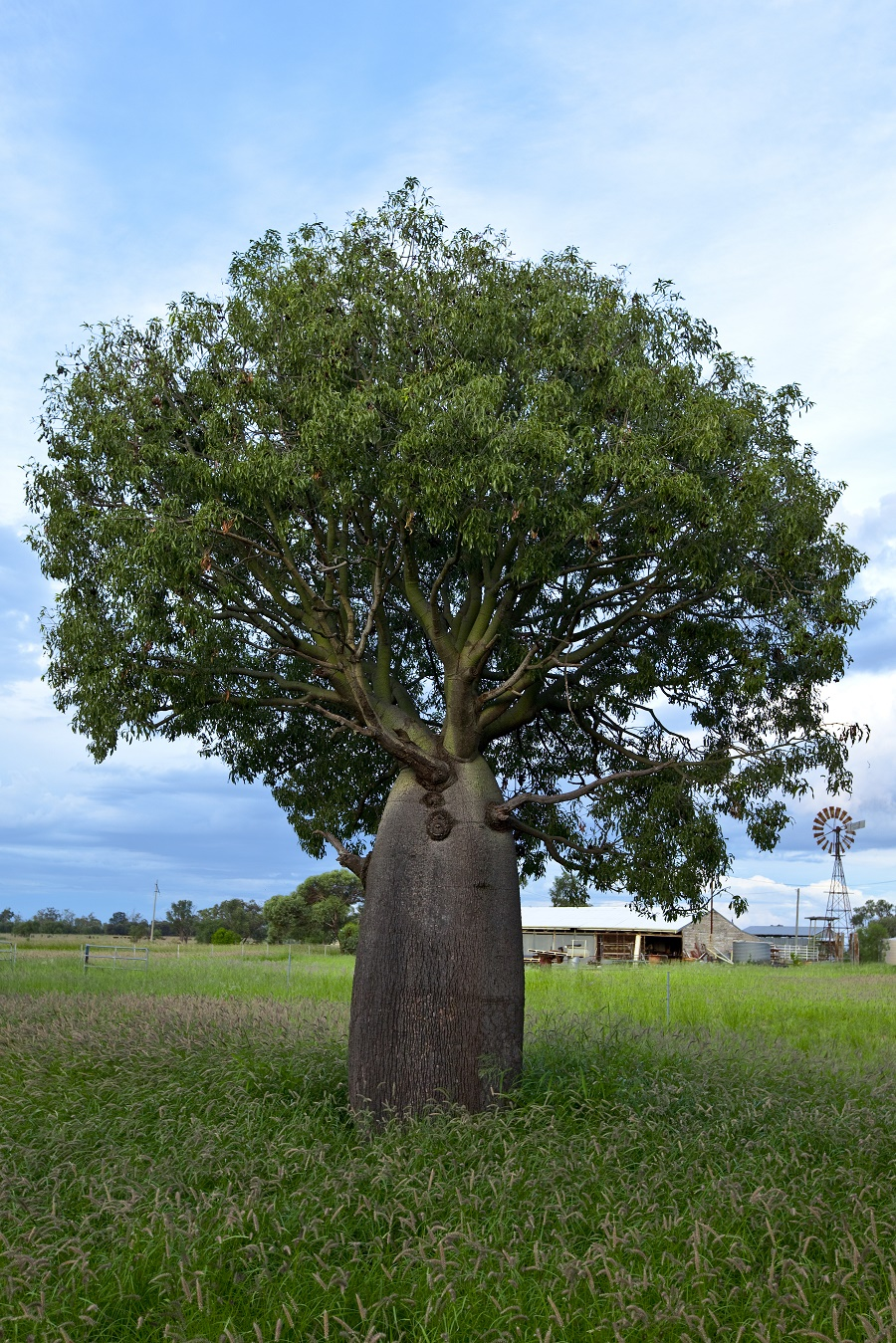 The Maranoa is famous for their Bottle Trees.jpg