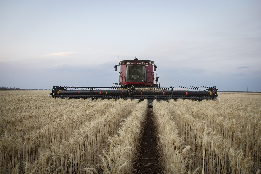 0337 - wheat harvesting.jpg
