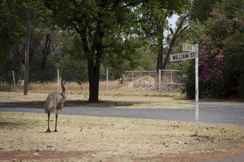 2874 emu in bollon.jpg