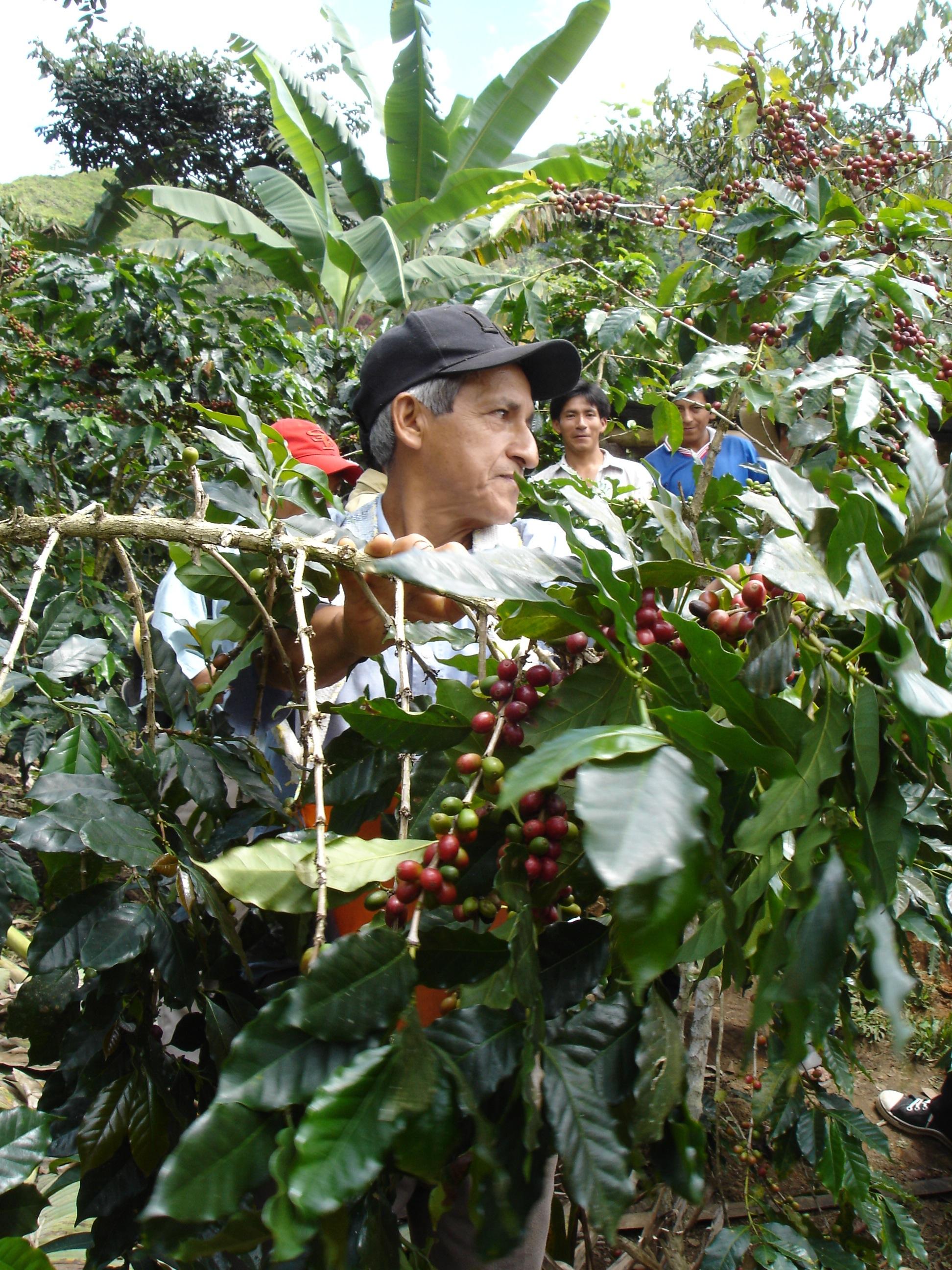 CENFROCAFE Harvest 4.JPG