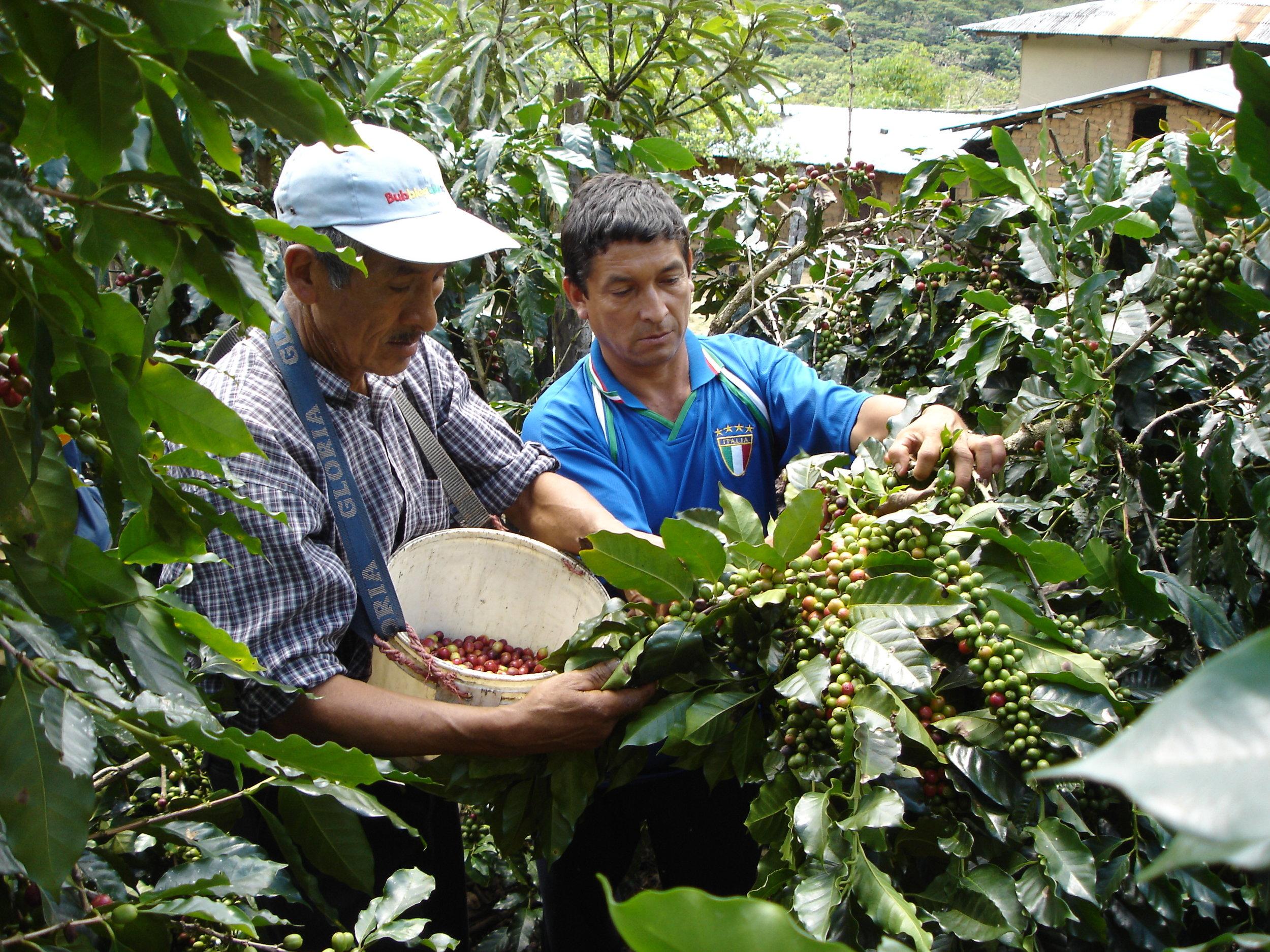 CENFROCAFE Harvest 2.JPG