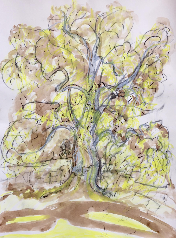 Platanus × Acerifolia Study II
