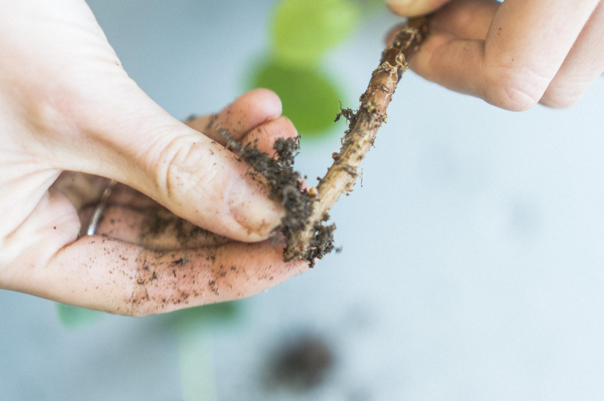 2) Fjern jord fra røttene, og sett den i vann. Pass på at ingen blader er dekket av vann.
