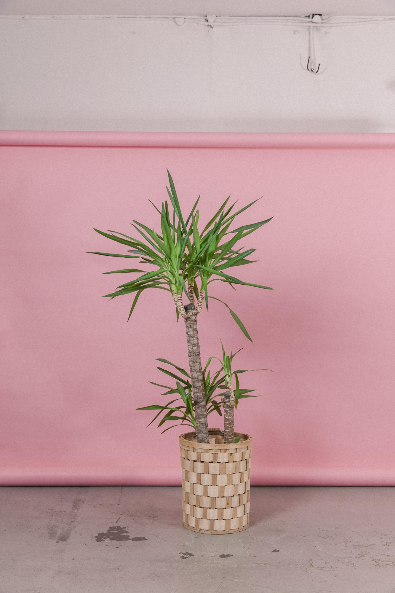 gro yuccapalme yucca