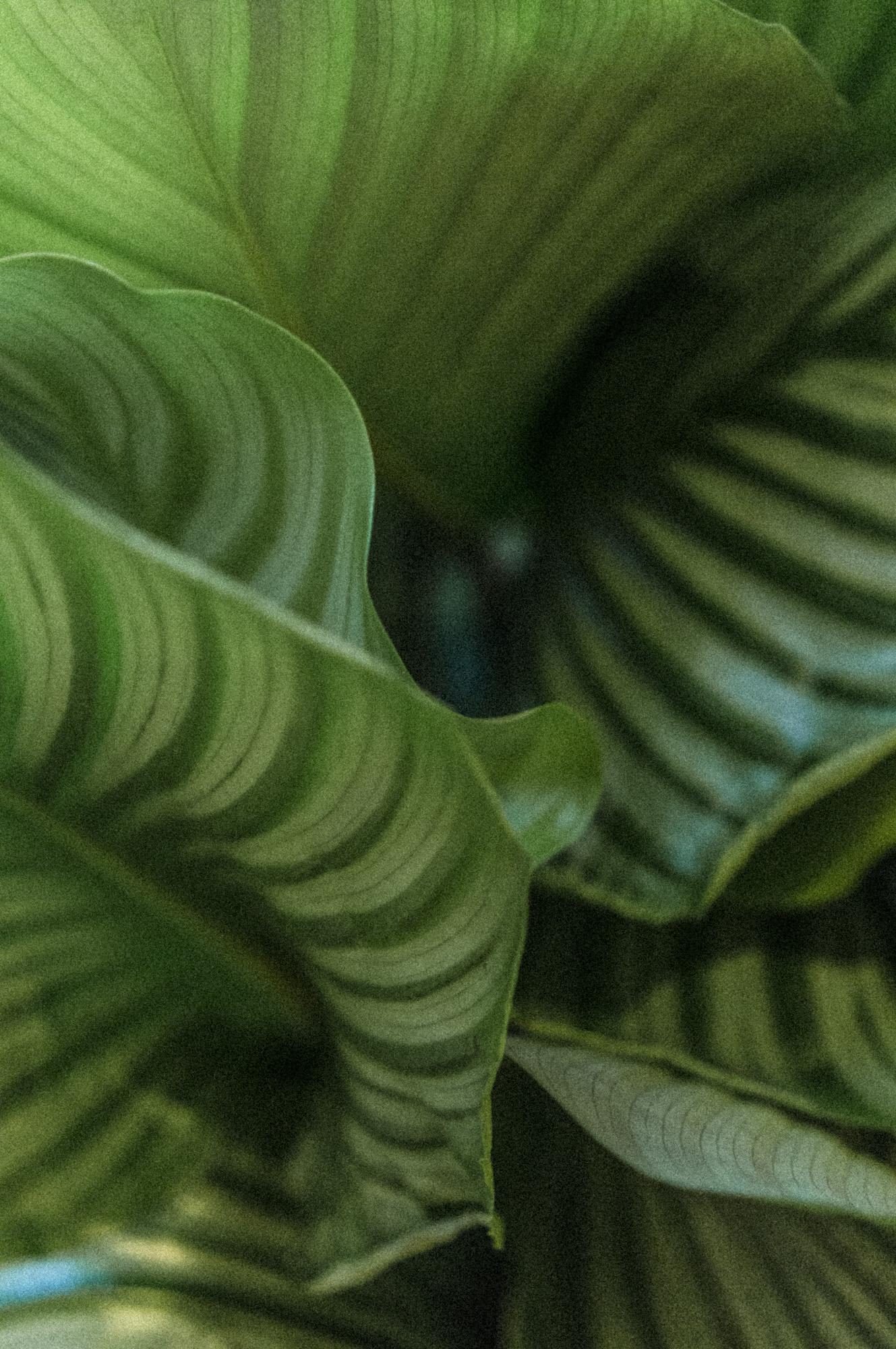 plantemagasinet gro Calatheaorbifolia ragnhild solem vikra