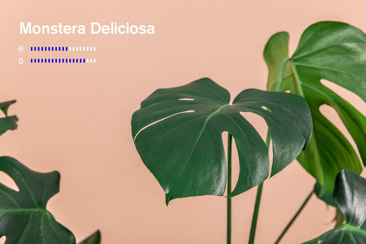 monstera deliciosa gromagasinet gro vindusblad