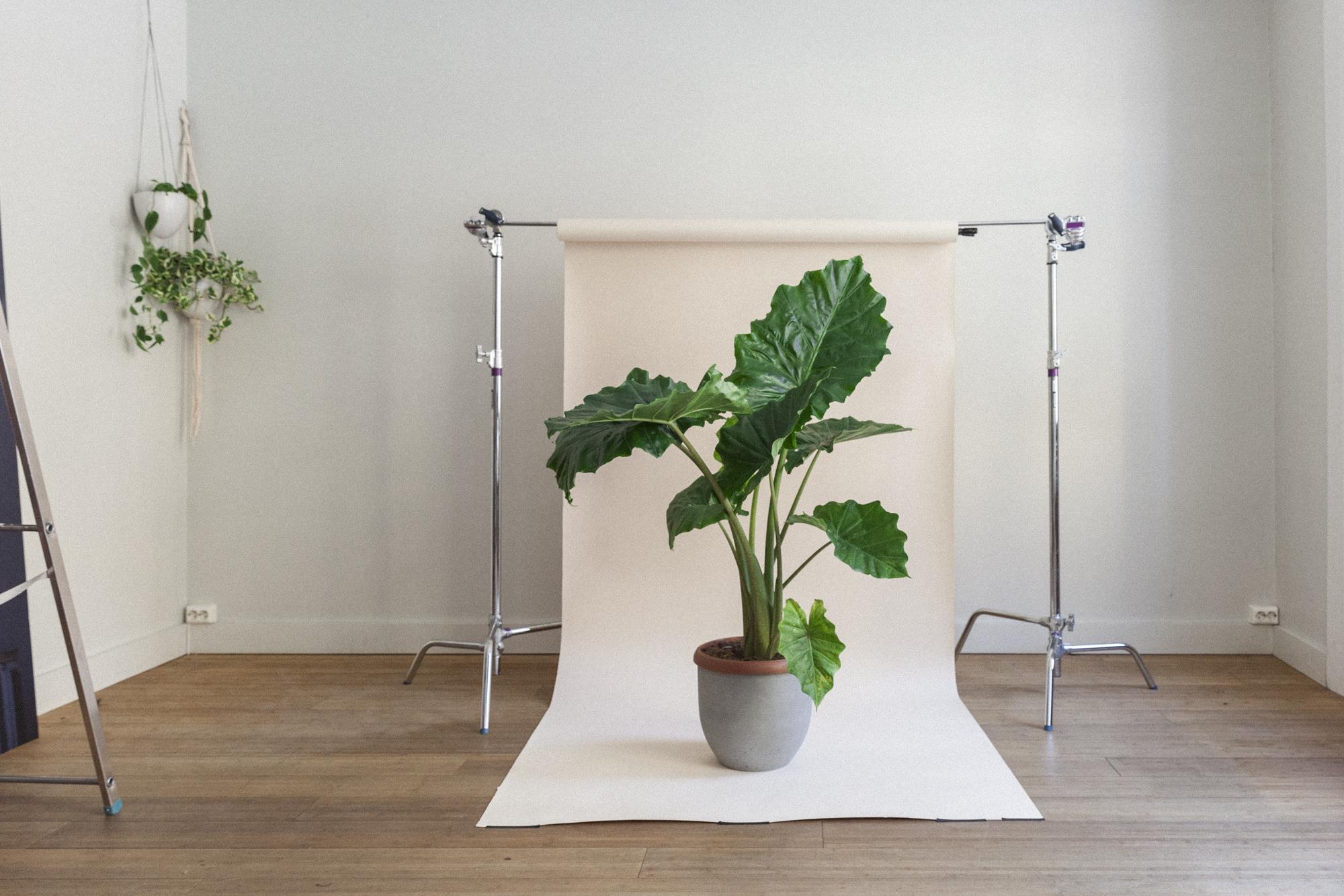 alocasia portodora planteportrett gromagasinet
