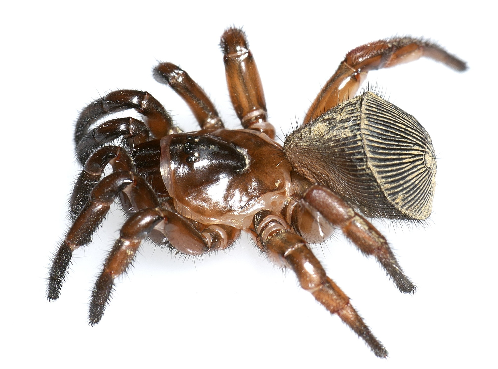 Chinese Hourglass Spider. ©Jason Bond. (See footnote 1 for more information.)