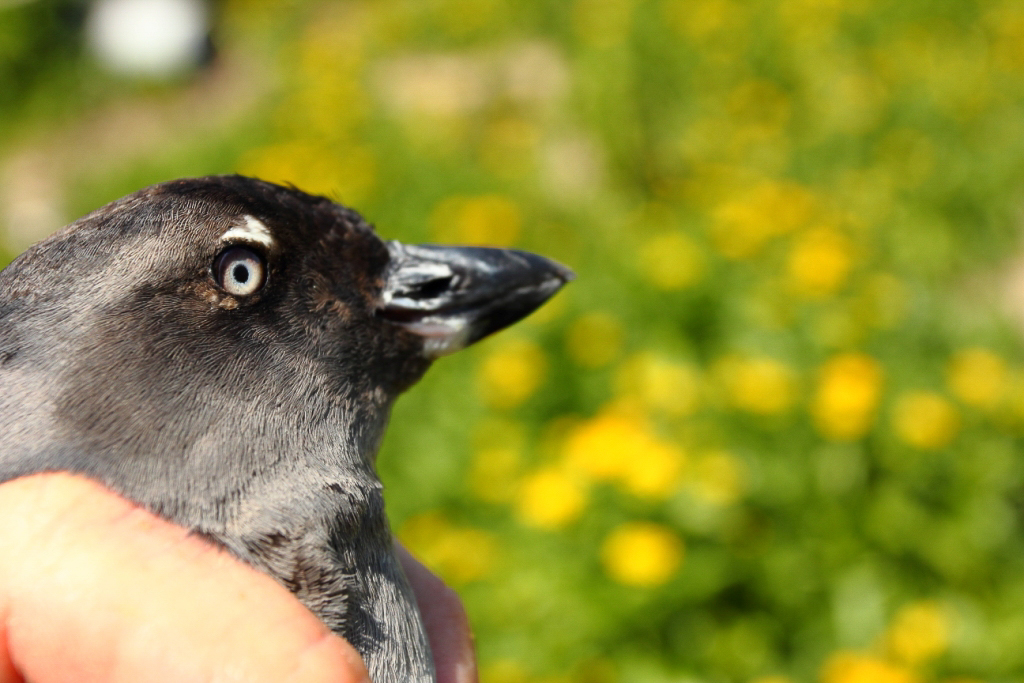 Cassin's Auklet, Farallon Islands