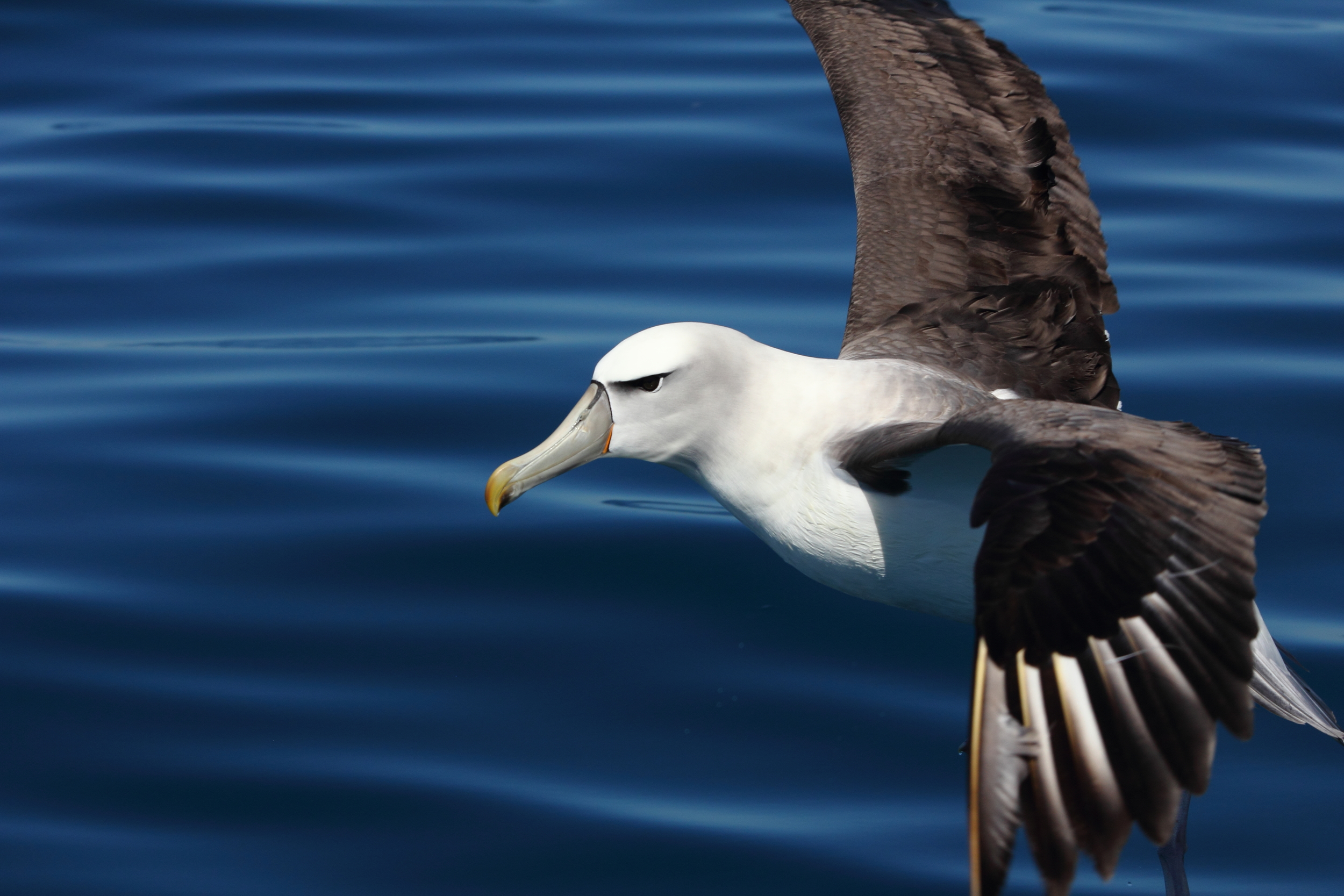 New Zealand White-caped Albatross, Kaikoura NZ