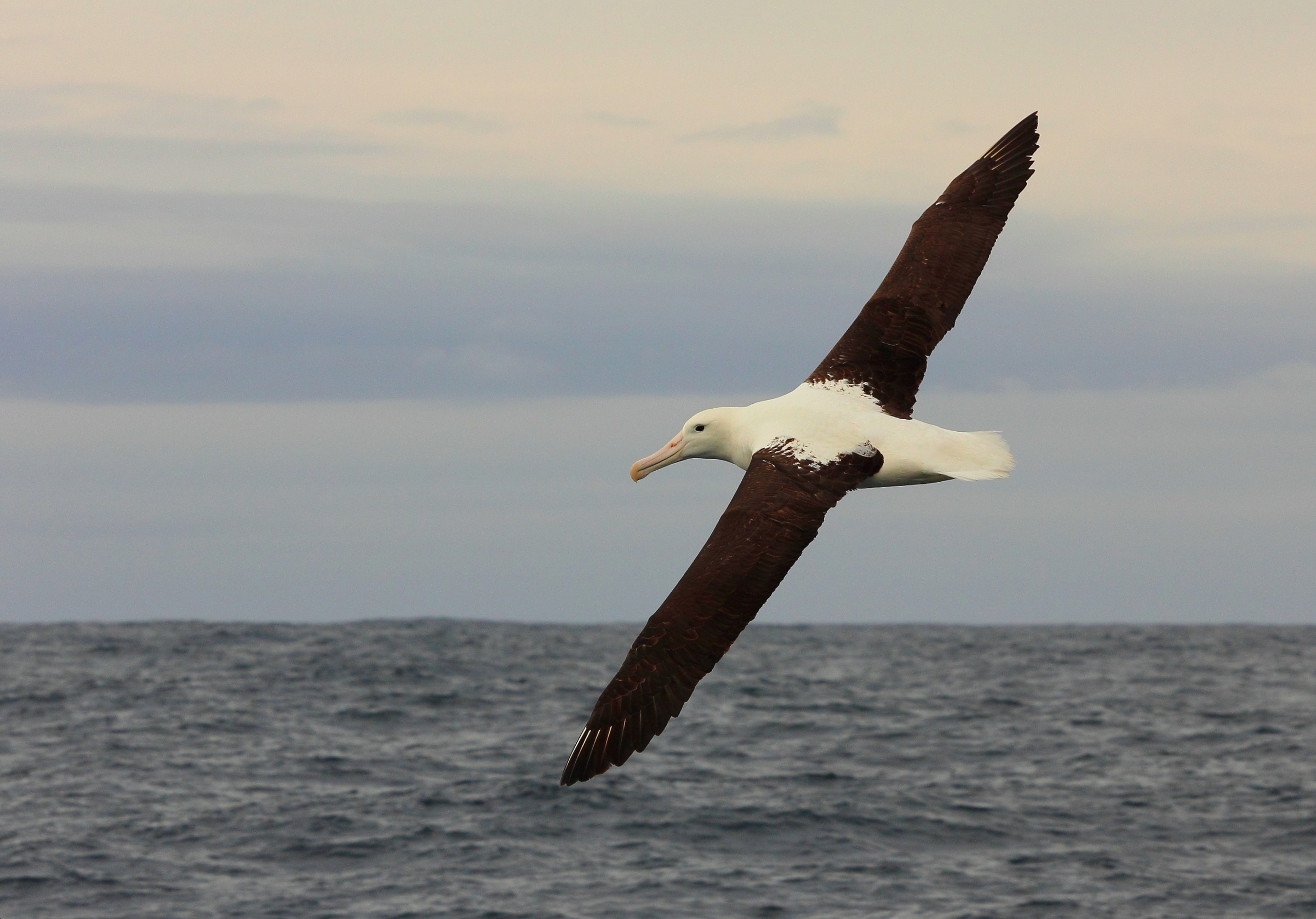Royal Albatross, Kaikoura NZ