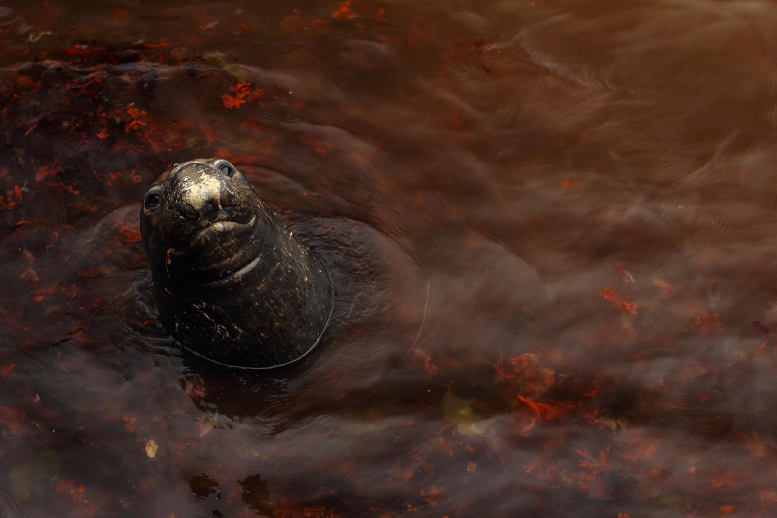 Northern Elephant Seal, Farallon Islands