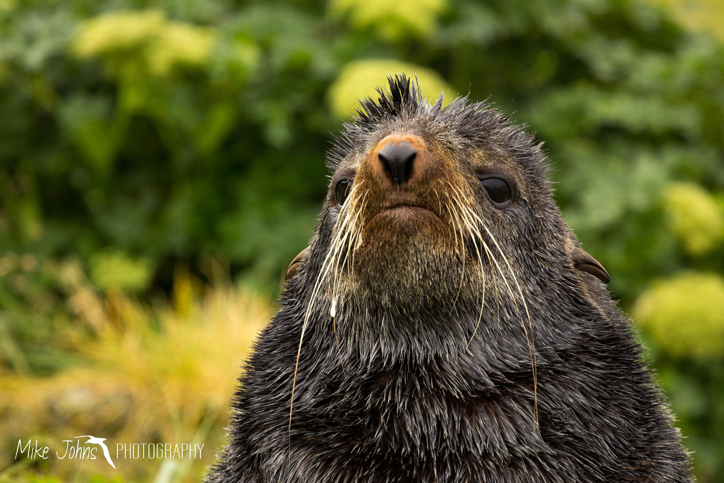 Northern Fur Seal, St. Paul Island