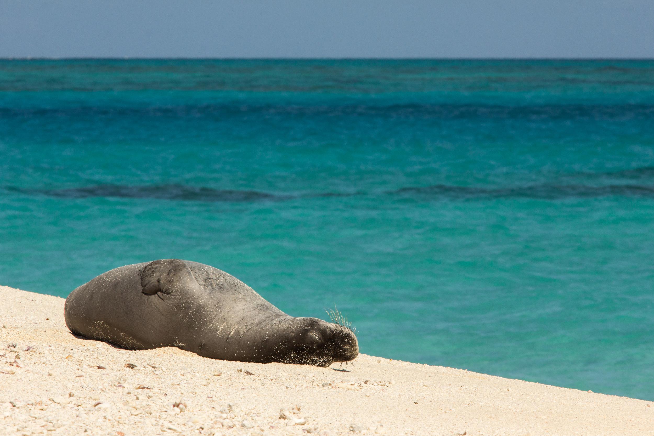 Hawaiian Monk Seal, French Frigate Shoals